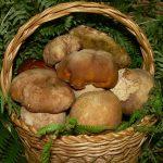un cesto di funghi porcini appena raccolti