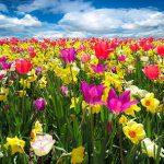 campo di fiori per festeggiare la primavera
