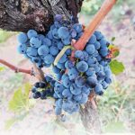 Sagra dell'uva Zagarolo 2018